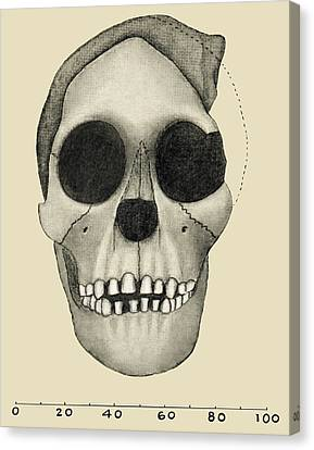 Taung Child Skull Canvas Print by Sheila Terry
