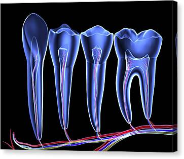 Teeth, Cross Section Canvas Print by Pasieka