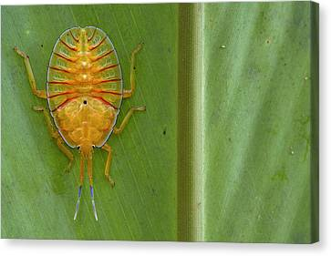 Tessaratomid Nymph Papua New Guinea Canvas Print by Piotr Naskrecki