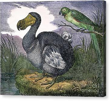 The Mauritius Dodo Canvas Print by Granger