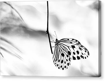 The Paper Kite Butterfly In Black And White Canvas Print