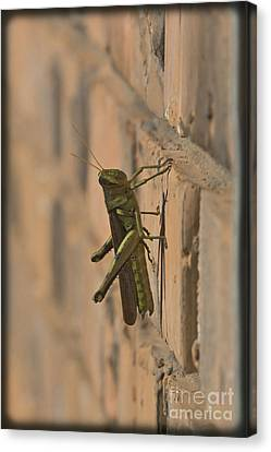 Cricket Canvas Print - The Visitor by Kim Henderson