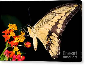 Thoas Swallowtail Butterfly Canvas Print by Terry Elniski