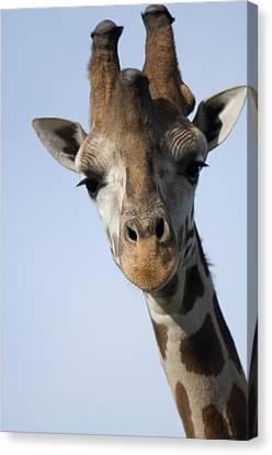 Thompsons Giraffe Giraffa Camelopardalis Canvas Print by Joel Sartore