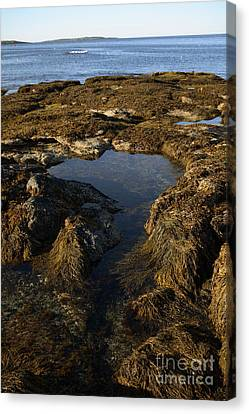 Tidepool In Maine Canvas Print by Ted Kinsman