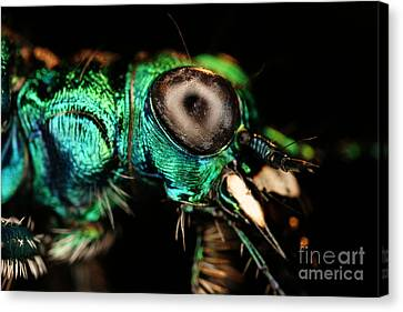 Tiger Beetle Canvas Print by Ted Kinsman