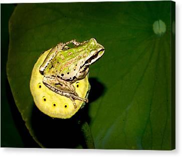 Lotus Leaves Canvas Print - Tree Frog by Jean Noren