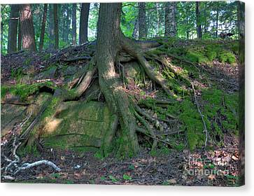Tree Growing Over A Rock Canvas Print