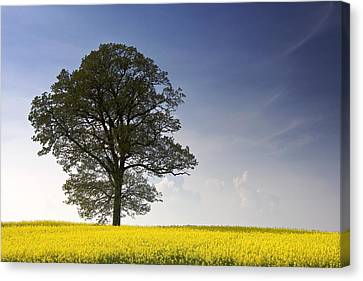Tree In A Rapeseed Field, Yorkshire Canvas Print by John Short