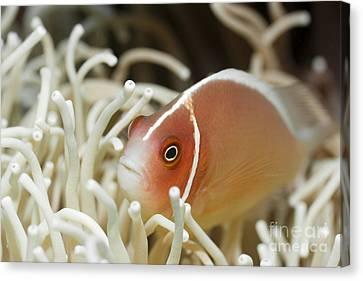 Tropical Fish Pink Clownfish Canvas Print by MotHaiBaPhoto Prints