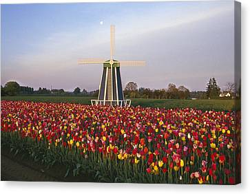 Tulip Field And Windmill Canvas Print by Natural Selection Craig Tuttle