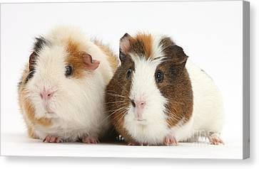 Two Guinea Pigs Canvas Print by Mark Taylor