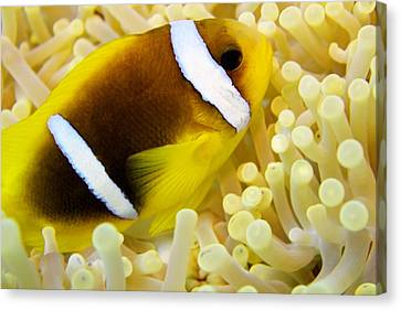 Twoband Anemonefish Canvas Print by Dimitris Neroulias