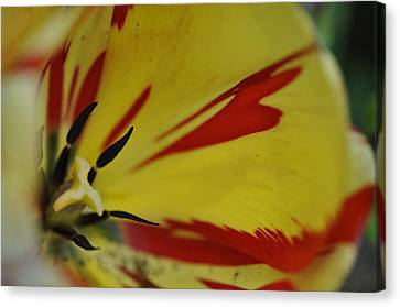 Canvas Print featuring the photograph Variegated Tulip by Rob Hemphill