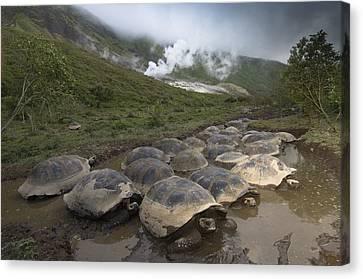 Volcan Alcedo Giant Tortoise Geochelone Canvas Print by Pete Oxford