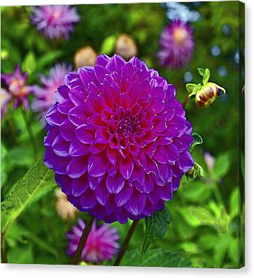 Walter Peak Dahlia Canvas Print by Paul Svensen