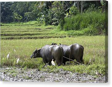 Workers Canvas Print - Water Buffalo by Jane Rix