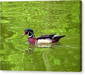 Water Wood Duck Canvas Print by Wendy McKennon