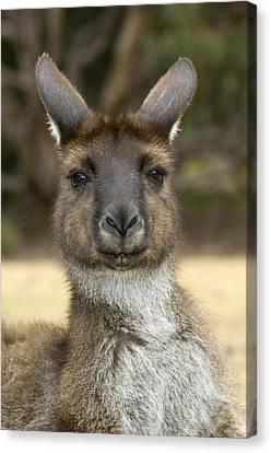 Western Grey Kangaroo Canvas Print by Tony Camacho