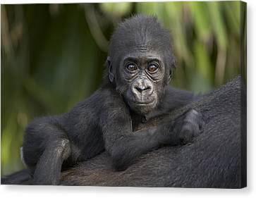 Gorilla Canvas Print - Western Lowland Gorilla Gorilla Gorilla by San Diego Zoo