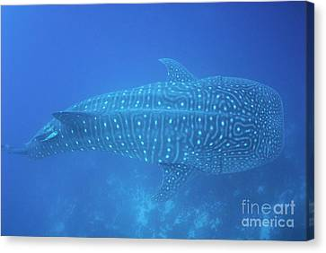 Whale Shark Canvas Print by Sami Sarkis
