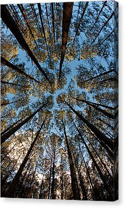 Whispering Pines Canvas Print by Dan Wells