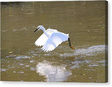 Canvas Print featuring the photograph White Egret by Jeanne Andrews