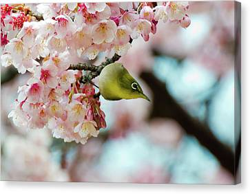 White-eye And Cherry Blossoms Canvas Print by I love Photo and Apple.