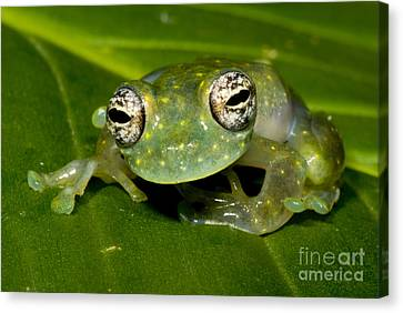 White Spotted Glass Frog Canvas Print by Dante Fenolio