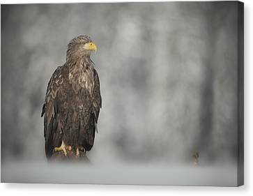 White-tailed Eagle Canvas Print by Andy Astbury