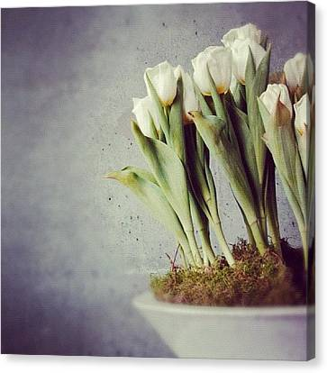 White Tulips In Bowl - Gray Concrete Wall Canvas Print by Matthias Hauser