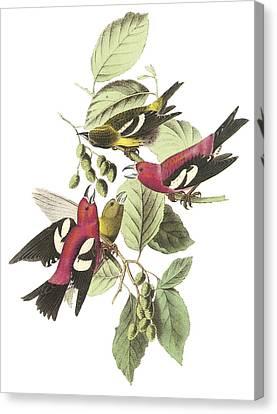 White-winged Crossbill Canvas Print by John James Audubon