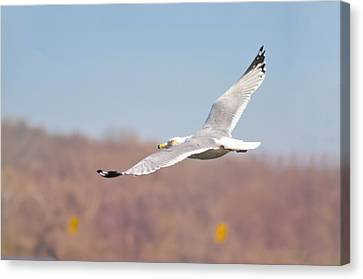 Wingspan Canvas Print by Bill Cannon