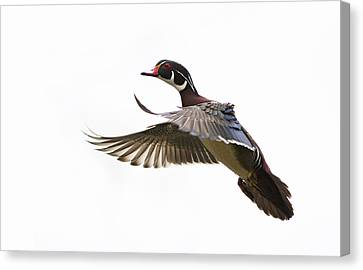 Wood Duck Canvas Print by Mircea Costina Photography