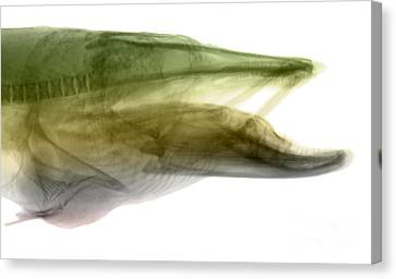 X-ray Of Muskie Canvas Print by Ted Kinsman