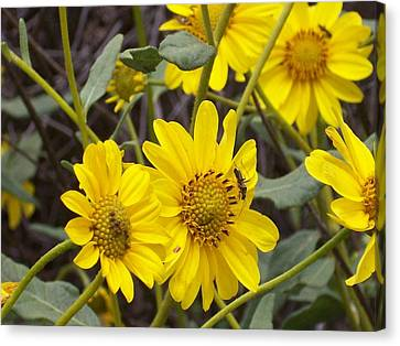 Yellow Daisy Canvas Print by Steve Huang