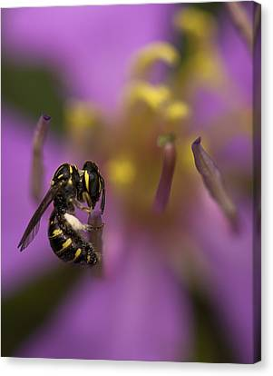 Yellow Faced Bee Canvas Print by Zoe Ferrie