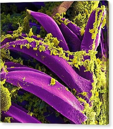 Yersinia Pestis Bacteria, Sem Canvas Print by Science Source