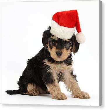 Yorkipoo Pup Wearing Christmas Hat Canvas Print