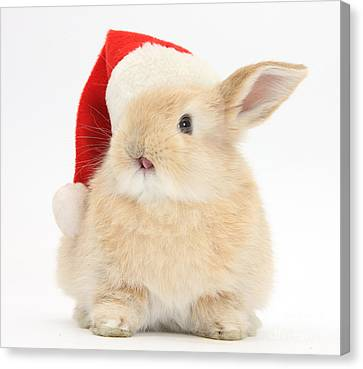 Young Sandy Rabbit Wearing A Christmas Canvas Print