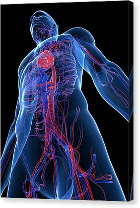 Cardiovascular System, Artwork Canvas Print by Sciepro