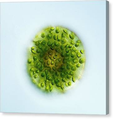 Green Alga, Light Micrograph Canvas Print by Gerd Guenther
