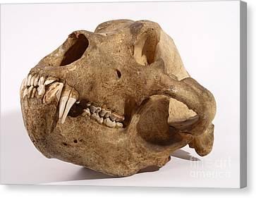 Kodiak Bear Skull Canvas Print by Ted Kinsman