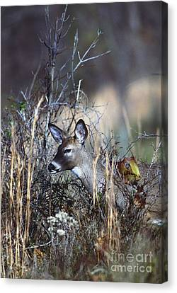 Canvas Print featuring the photograph White-tailed Deer by Jack R Brock