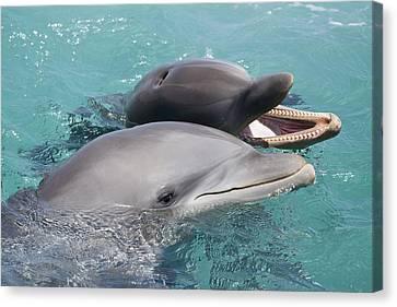 Atlantic Bottlenose Dolphins Canvas Print by Dave Fleetham