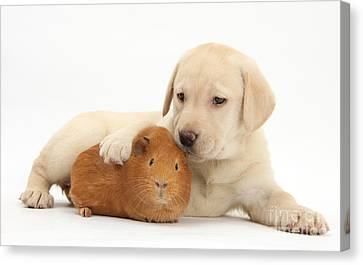 Puppy And Guinea Pig Canvas Print by Mark Taylor