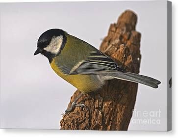 Tit Canvas Print by Odon Czintos