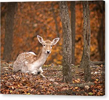 1111-7638 Fawn In Fall Canvas Print by Randy Forrester