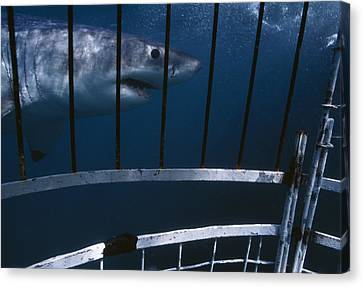 Cage Diving Canvas Print - Great White Shark by Alexis Rosenfeld