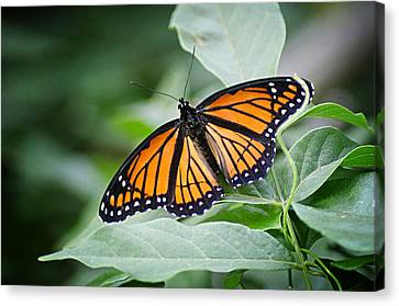 1205-8934 Monarch In Spring Canvas Print by Randy Forrester